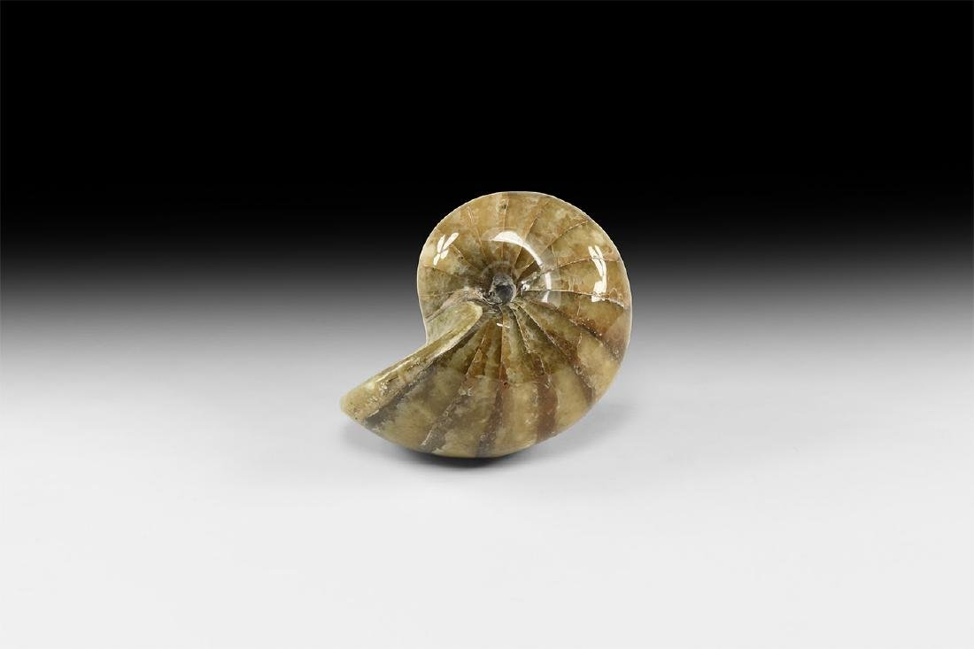 Natural History - Polished Fossil Nautilus