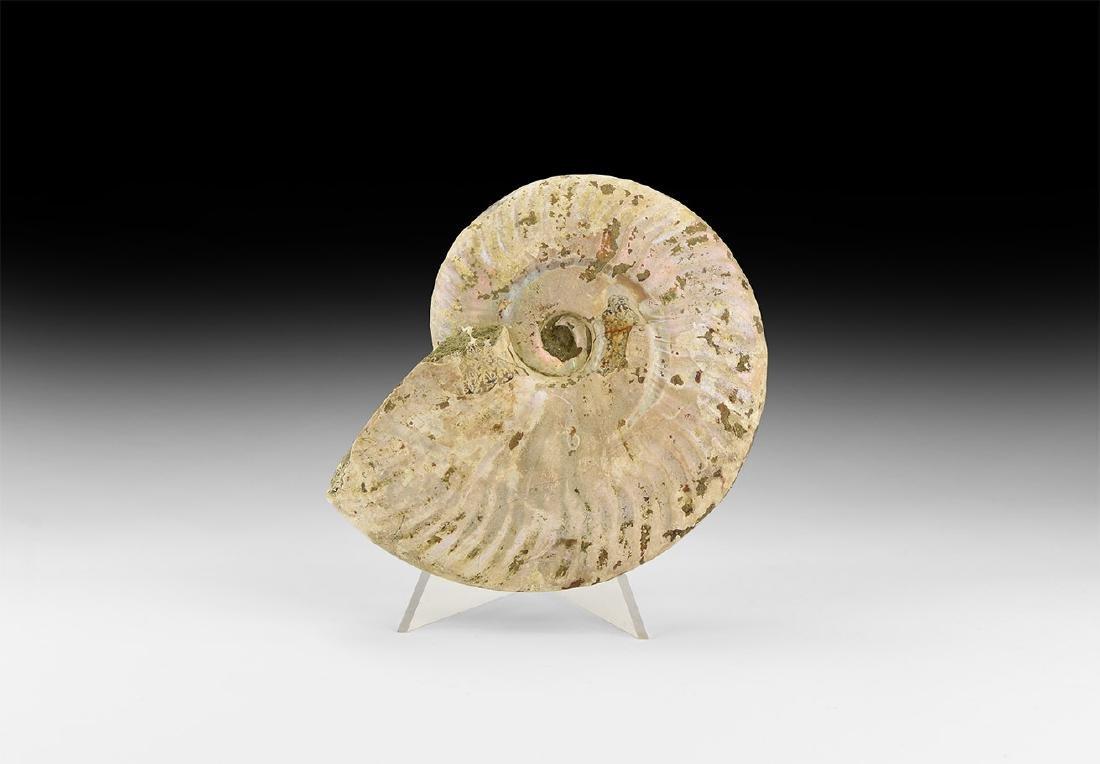 Iridescent Shell Fossil Ammonite