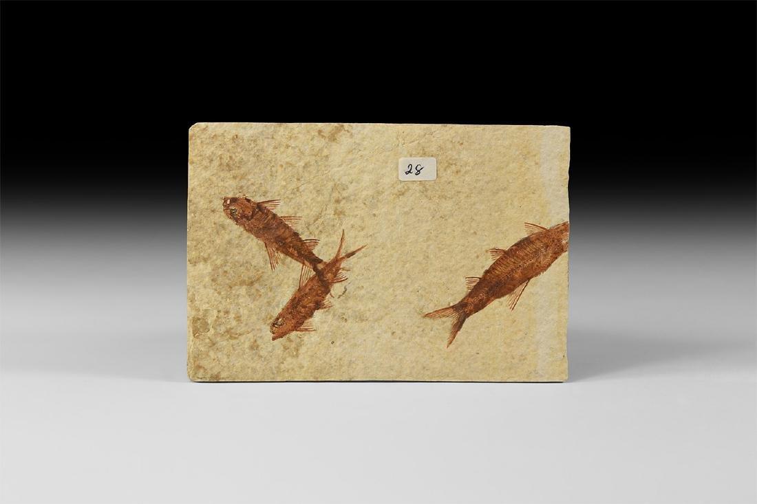 Natural History - Knightia Fish Group