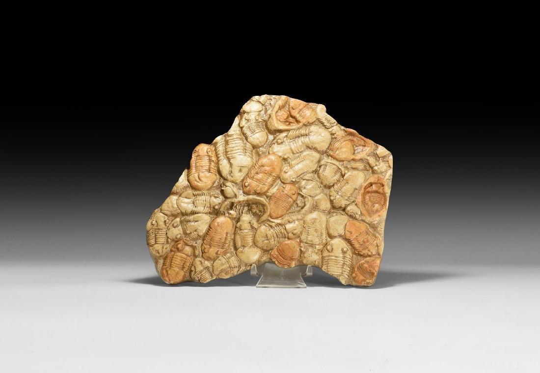 Trilobite Mortality Plate Replica.