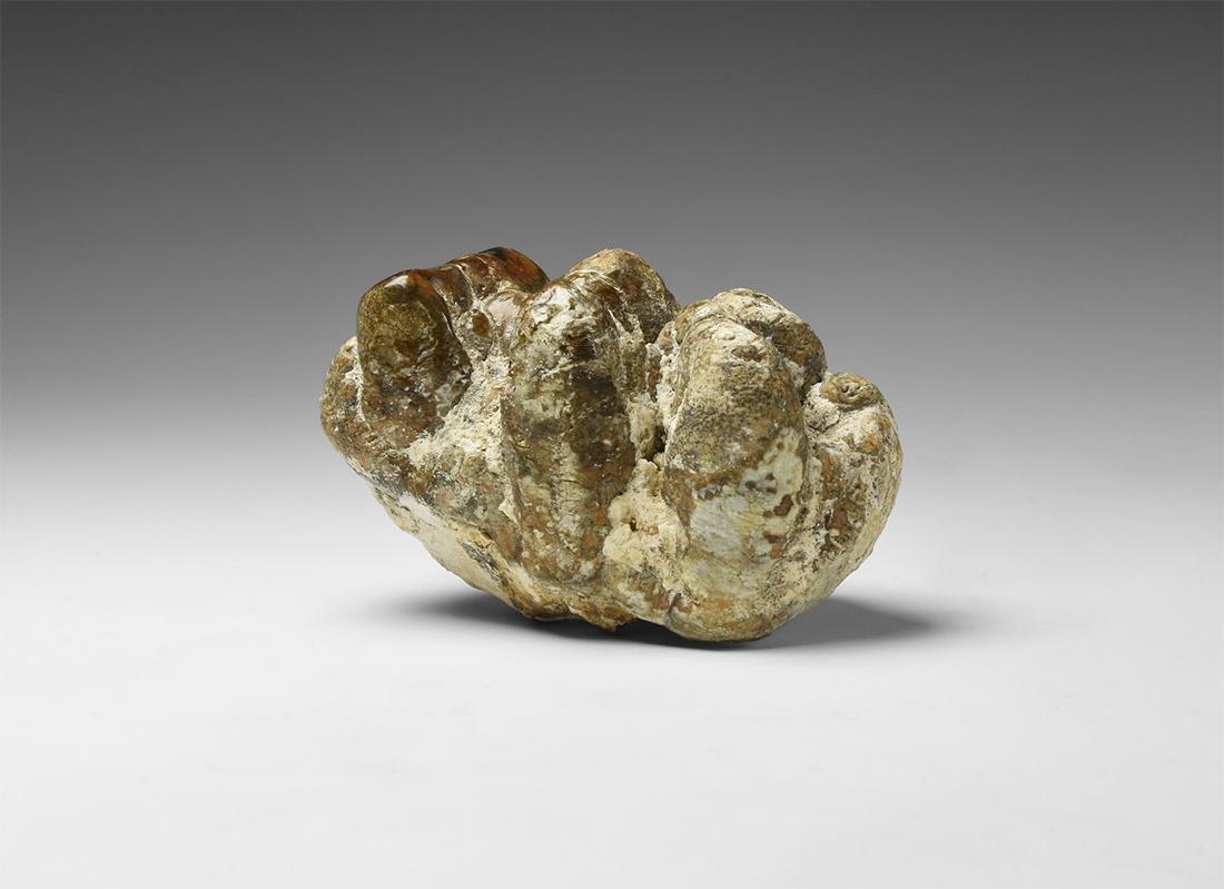 Natural History - Fossil Mastodon Tooth