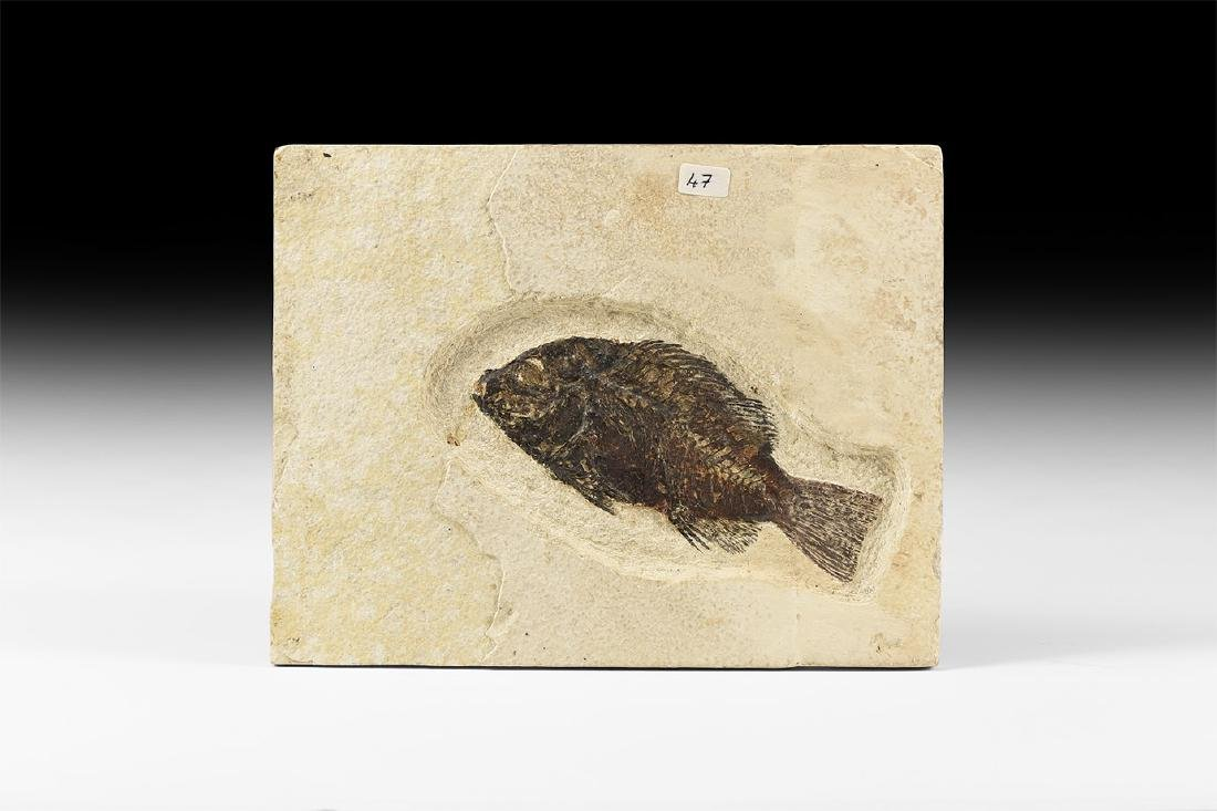 Natural History - Fossil Priscacaraliops Fish