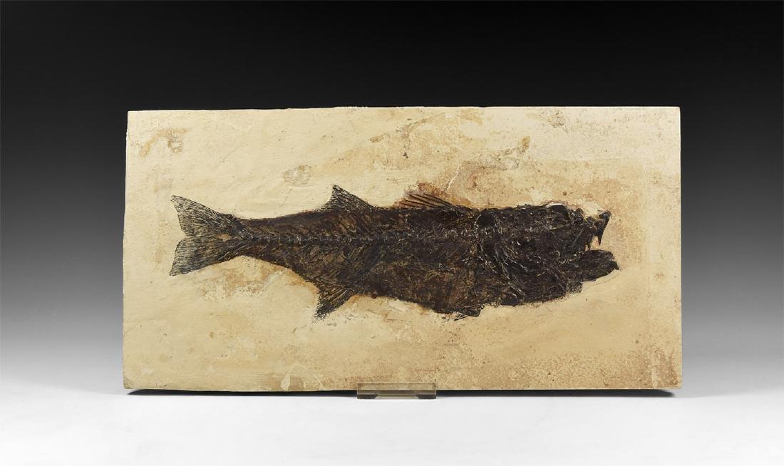Fossil Notogoneus Osculus Fish