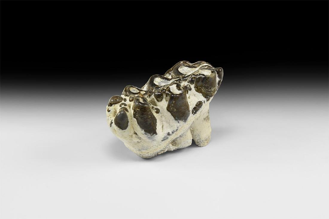Natural History - Mastodon Tooth