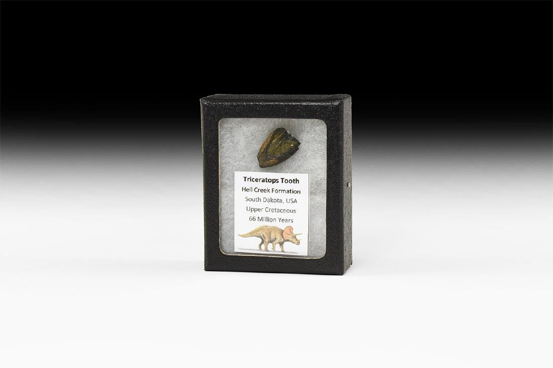 Natural History - Triceratops Fossil Tooth
