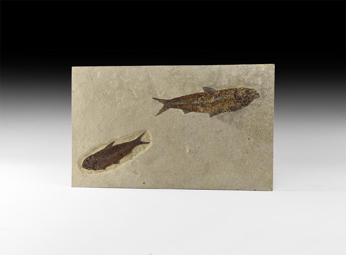 Natural History - Knightia Fossil Fish Group