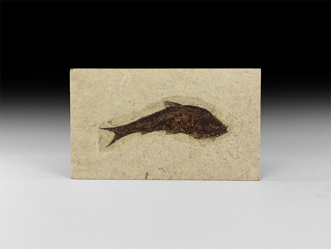 Natural History - Knightia Fossil Fish