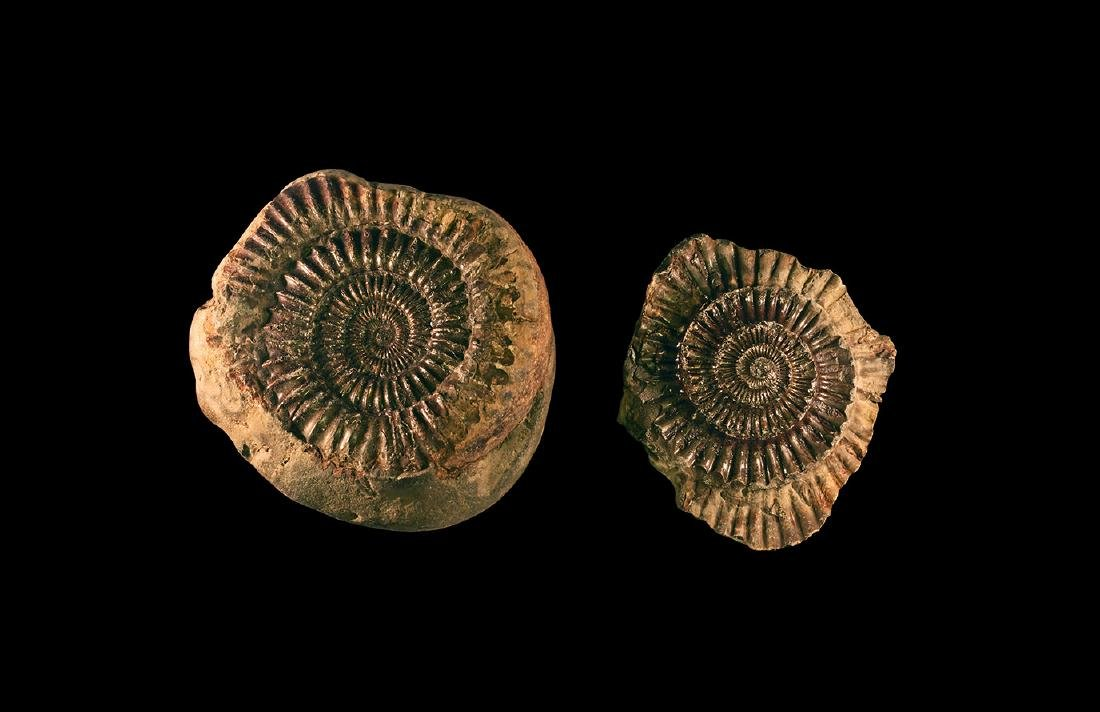 Natural History - Whitby Dac Fossil Ammonite