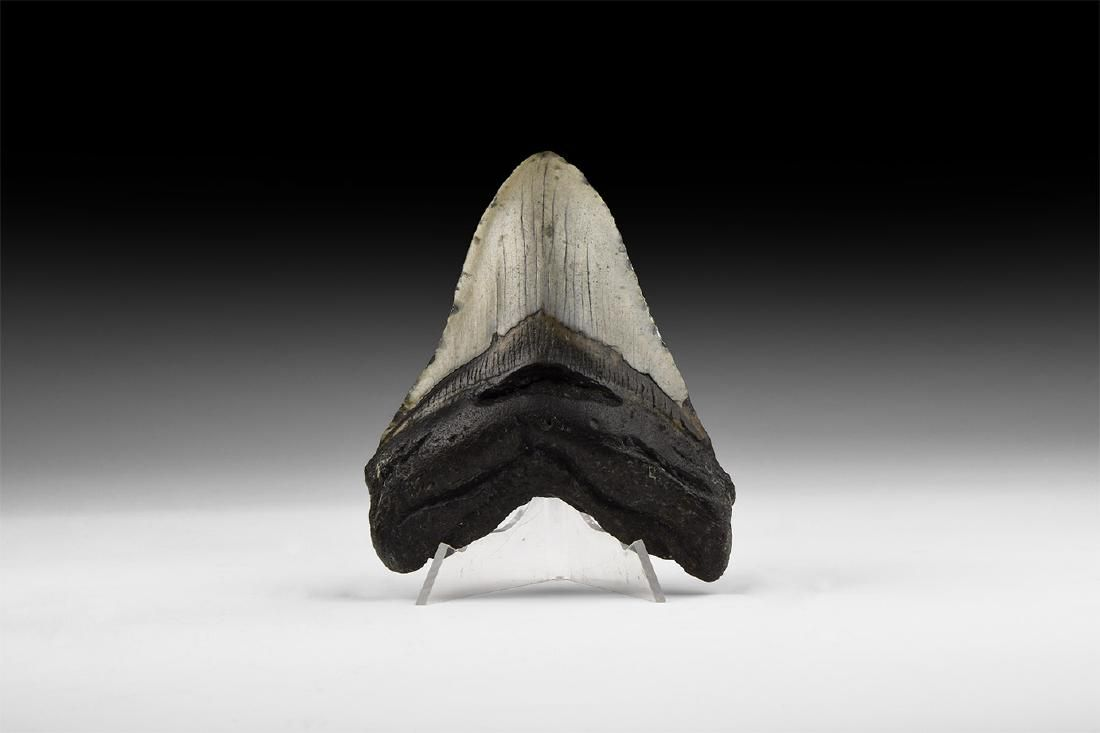 Natural History - Megalodon Fossil Shark Tooth