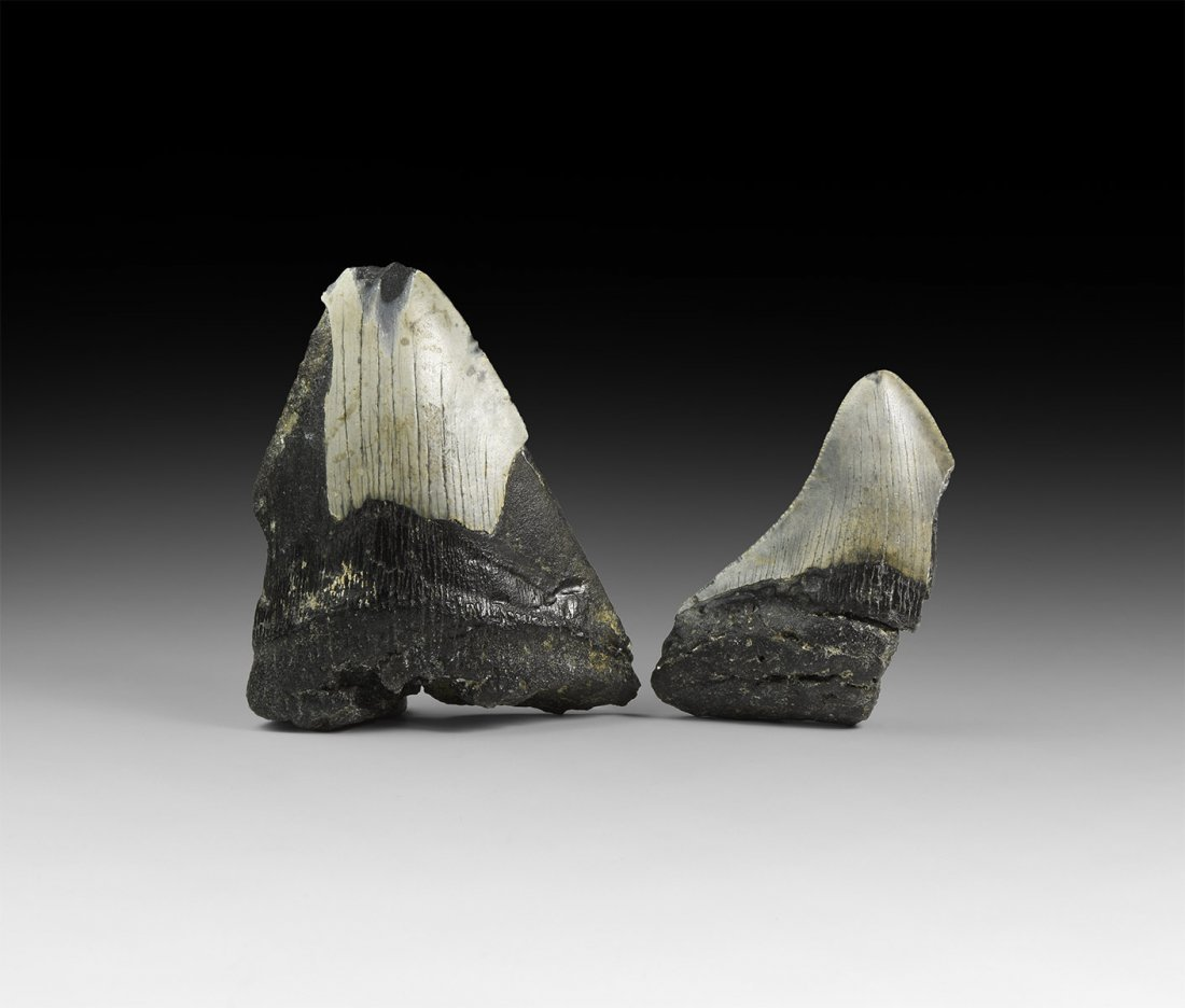Megalodon Fossil Shark Tooth Group