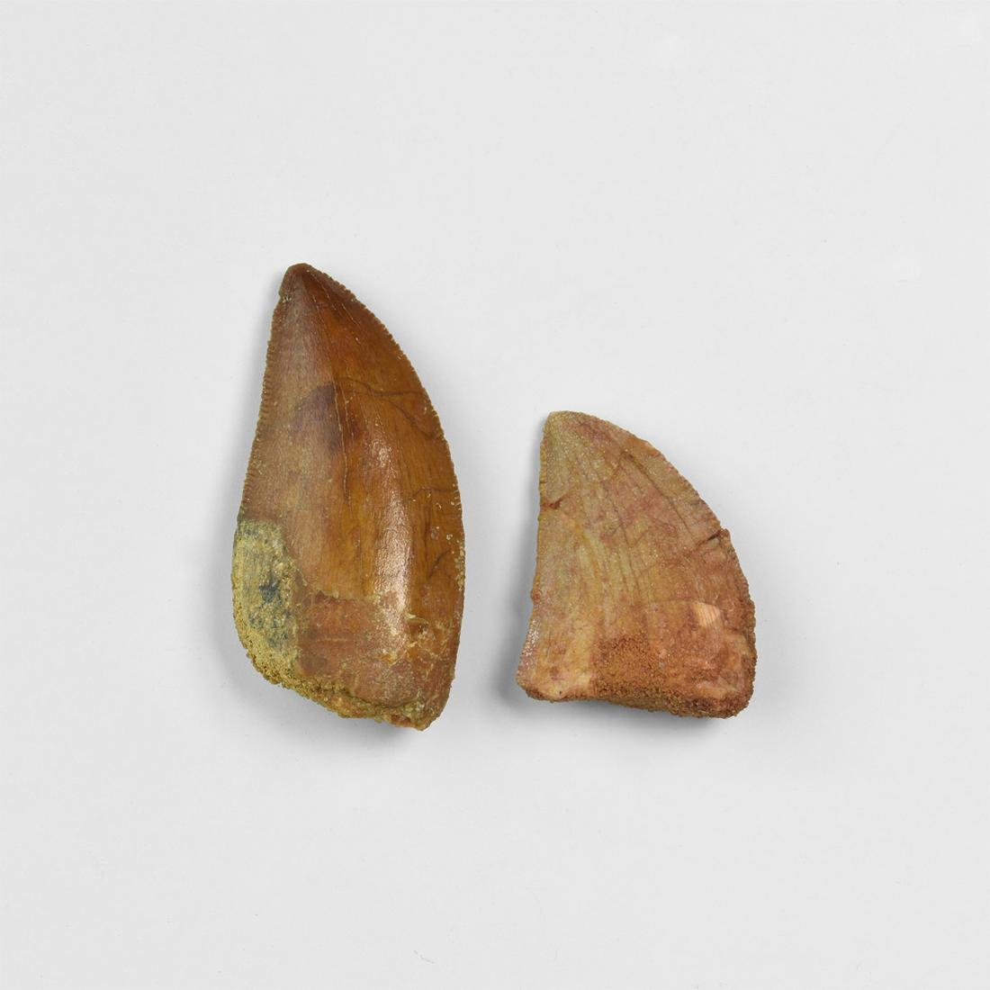 African T-Rex Fossil Tooth Group