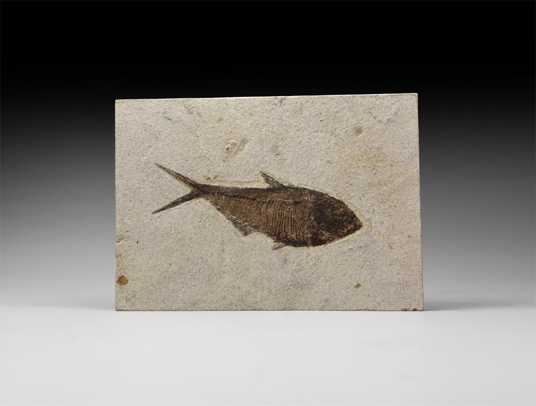 Fossil Diplomystus Fish