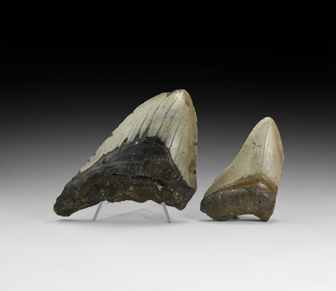 Megalodon Shark Tooth Group