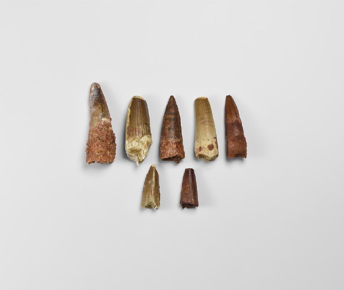 Spinosaurus Dinosaur Fossil Tooth Group
