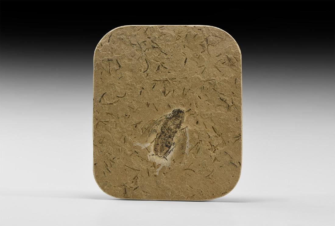 Natural History - Fossil Hemipteran Insect