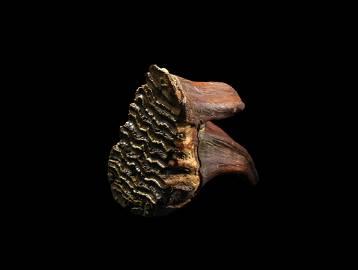 Juvenile Mammoth Tooth