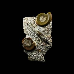 Polished Orthoceras and Goniatite Display