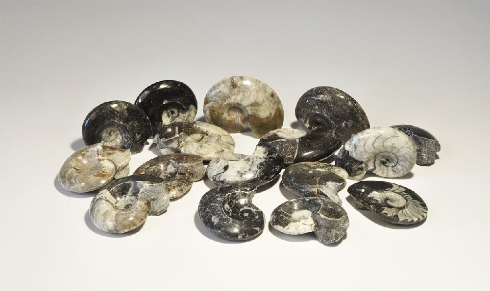 Geological Ammonite Fossil Collection