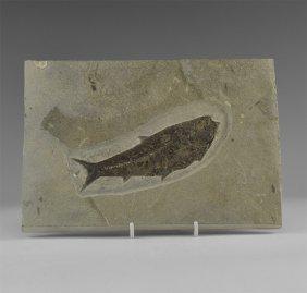 Natural History - Diplomystus Fossil Fish