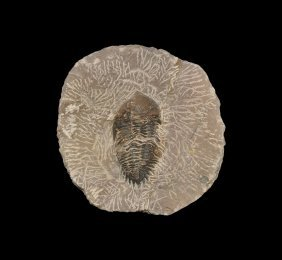 Natural History Fossil Odontochile Trilobite