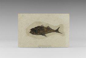 Natural History - Fossil Diplomystus Fish In Matrix
