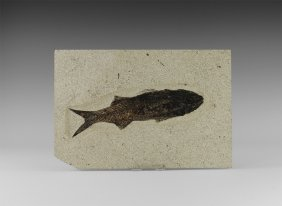 Natural History - Mioplosus Labracoides Fossil Fish