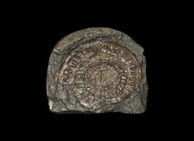 Natural History - Caloceras Fossil Ammonite