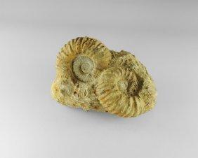 Natural History - Madagascan Ammonite Group