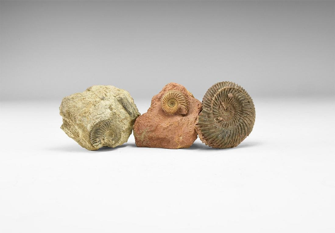 Fossil Ammonite Group