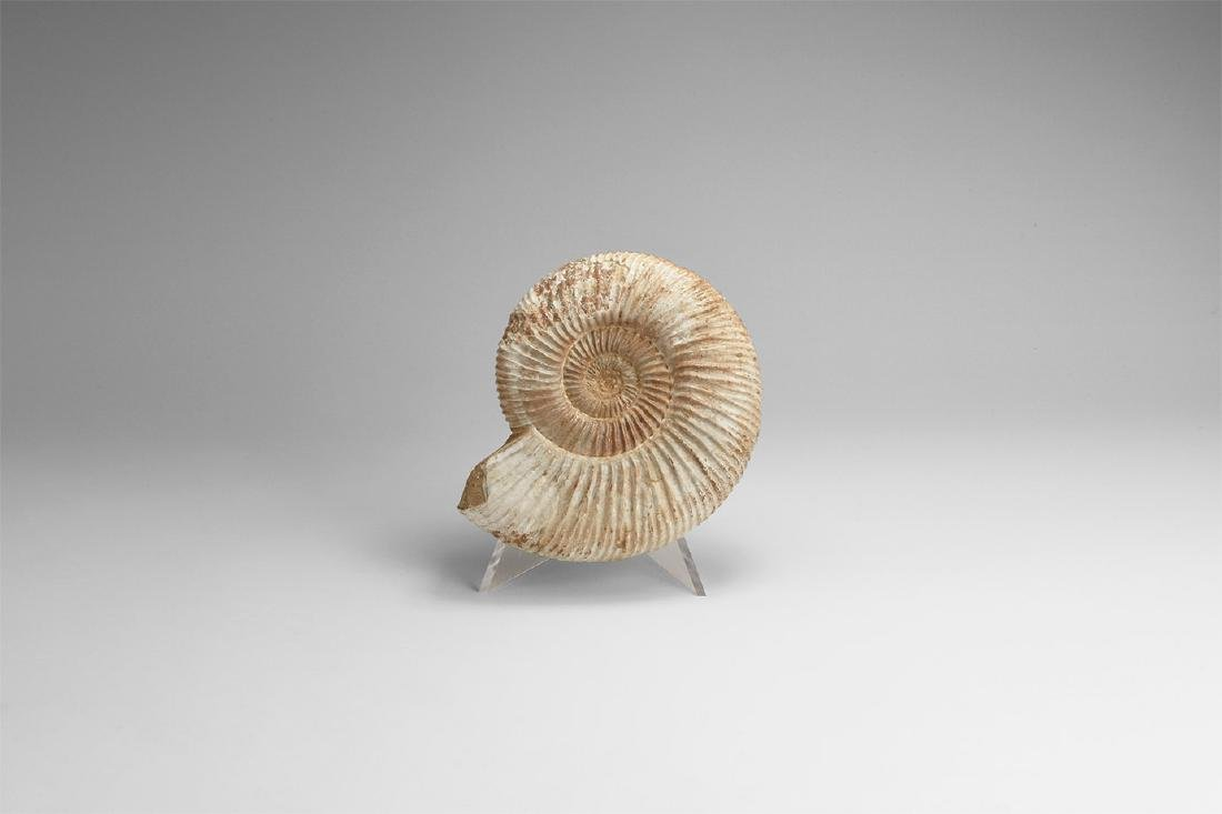 Perisphinctes Fossil Ammonite