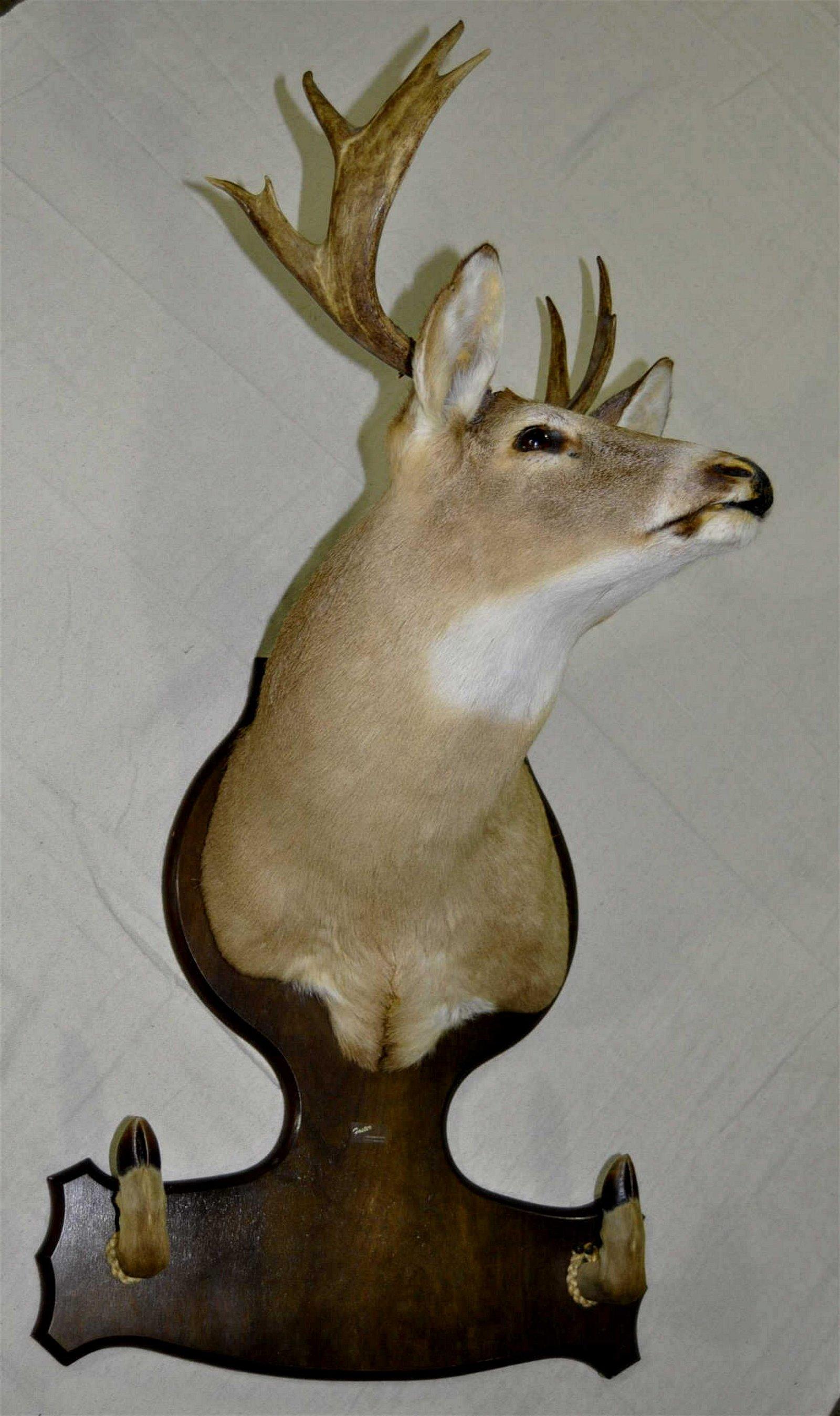 Alabama Mule Deer Head & Shoulders Riffle Mount