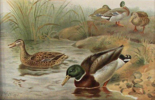 "8: P.J. Smit Chromolithograph ""Wild Duck"""