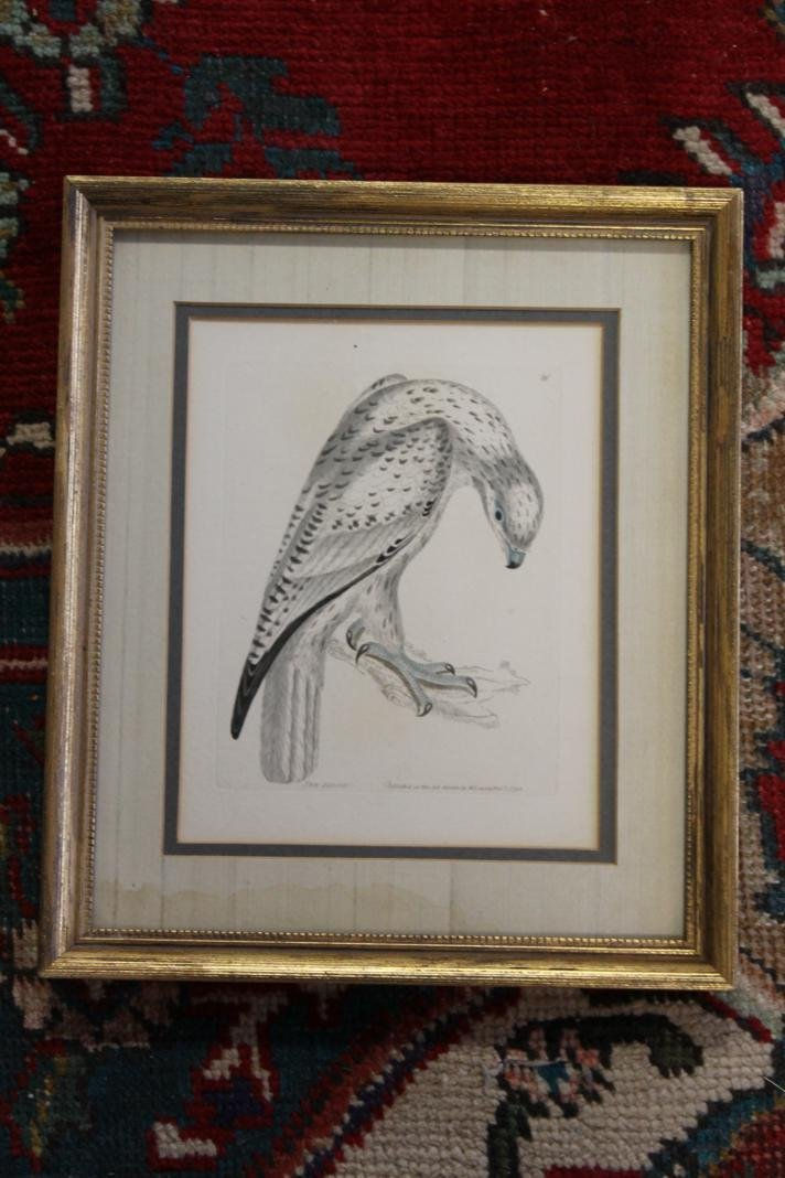 "10: ""Jer Falcon"" hand colored engraving.""Published as t"