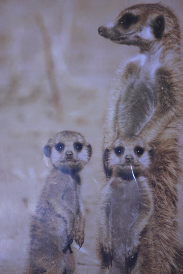 African Wildlife Meerkat