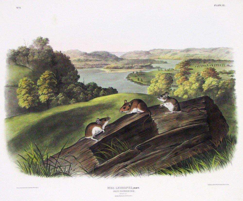 5: after JOHN JAMES AUDUBON (American, 1785-1851)