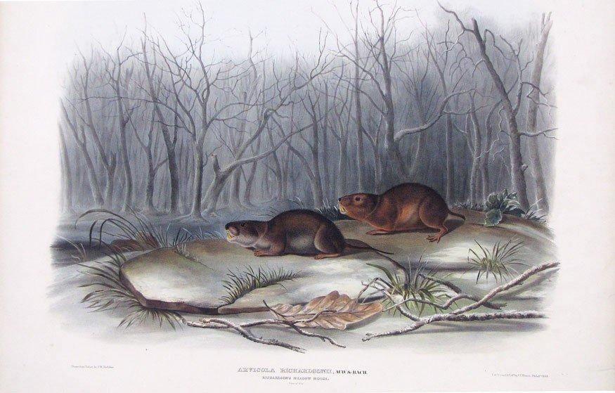 8: after JOHN WOODHOUSE AUDUBON (American, 1812-1862)