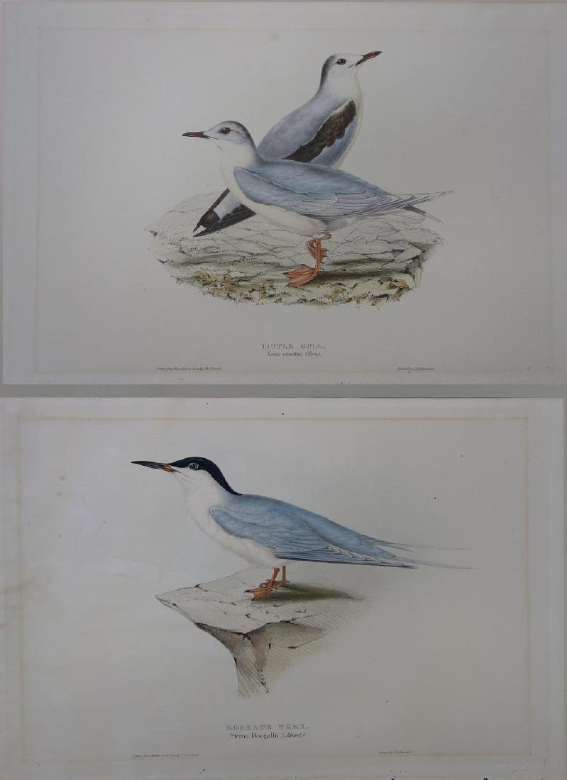 2-19thc John Gould (1804-1881) Colored Lithographs
