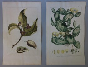 2 Antique Botanical Engravings, Cactus & Annona