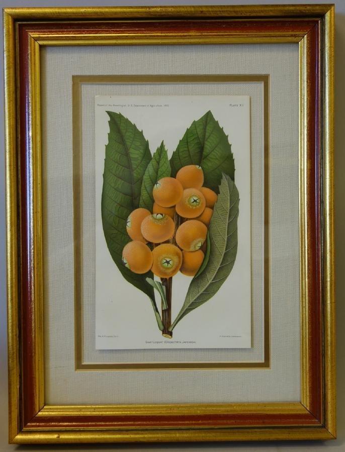 4 Framed Fruit Botanicals, Bulletin Arboriculture - 5