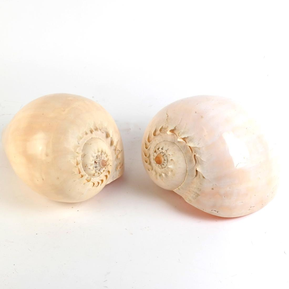 Two Conch Shells