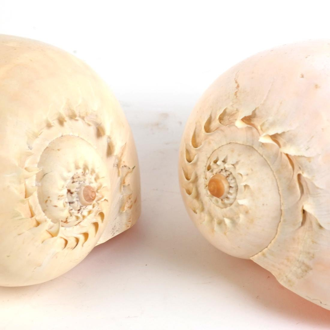 Two Conch Shells - 2