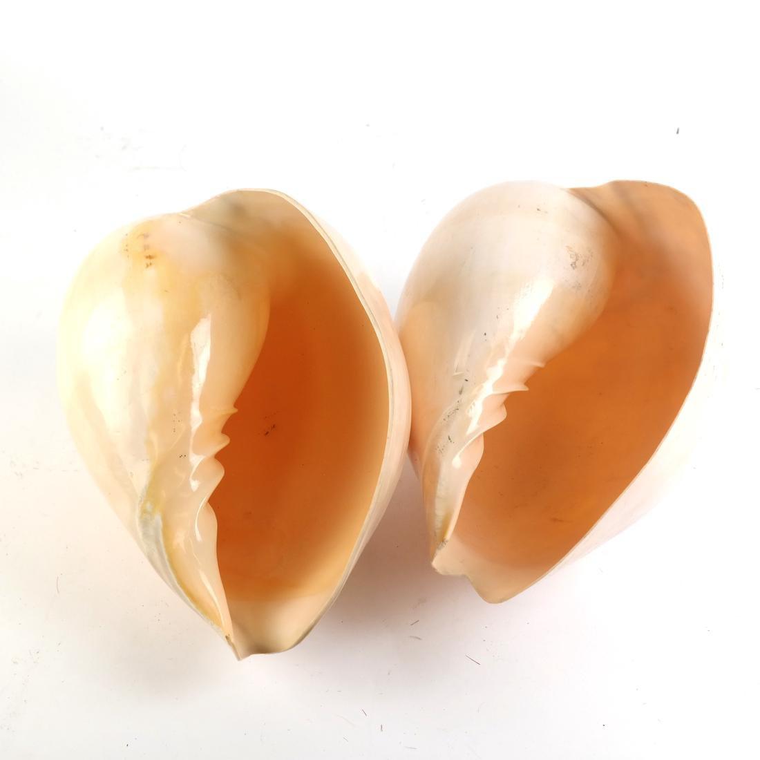 Two Conch Shells - 5