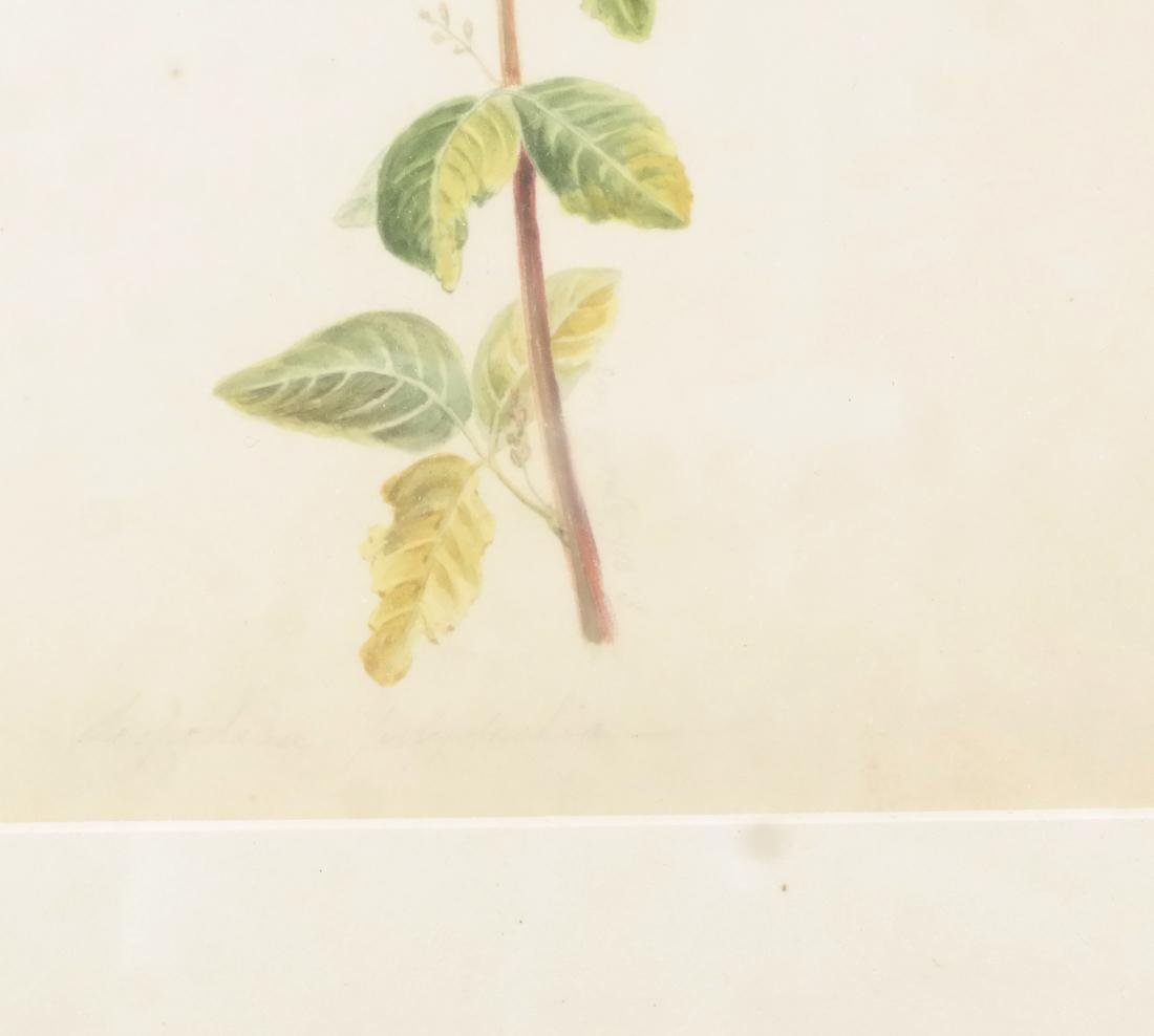 Edwin Whitefield, Horticultural Watercolor - 3