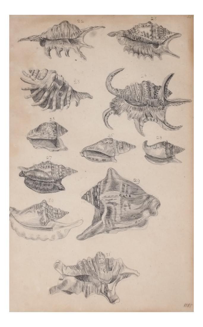 Two Shell Life Framed Prints Italian 18th Century - 2