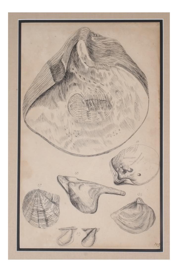 Two Shell Life Framed Prints Italian 18th Century - 7