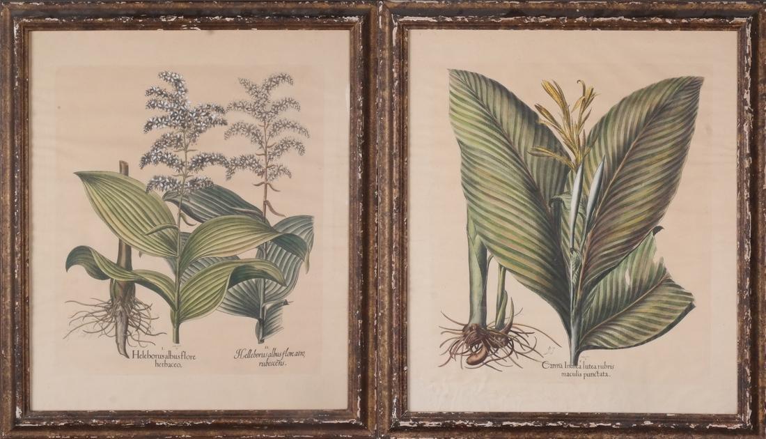 Two Basilius Besler  Felix Verity Horticultural Prints