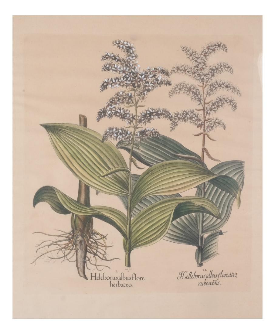Two Basilius Besler  Felix Verity Horticultural Prints - 2