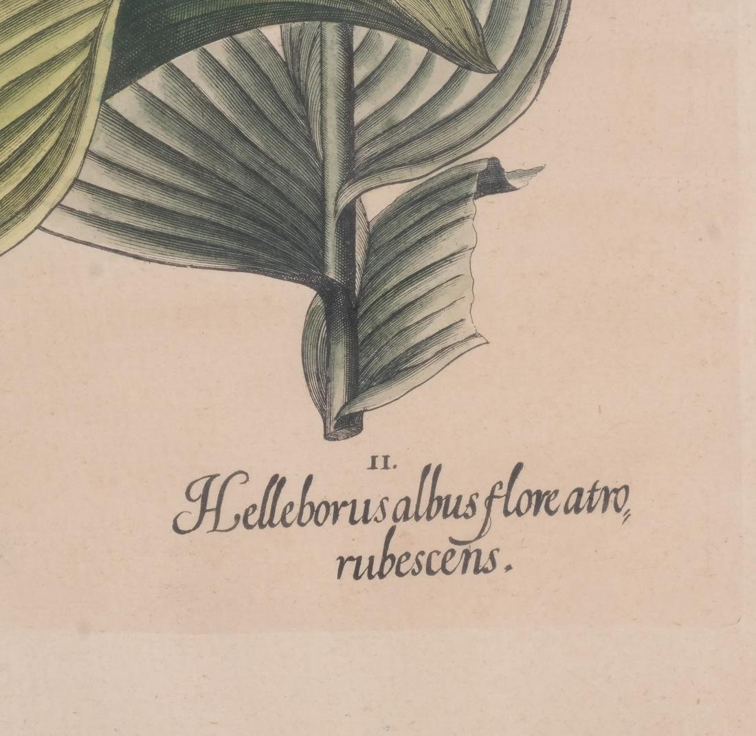 Two Basilius Besler  Felix Verity Horticultural Prints - 3