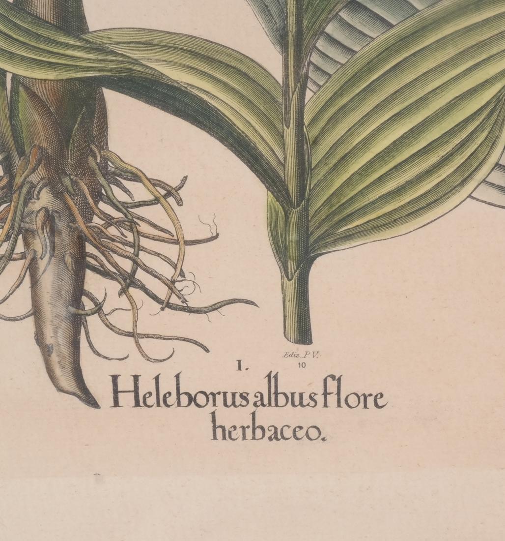Two Basilius Besler  Felix Verity Horticultural Prints - 4