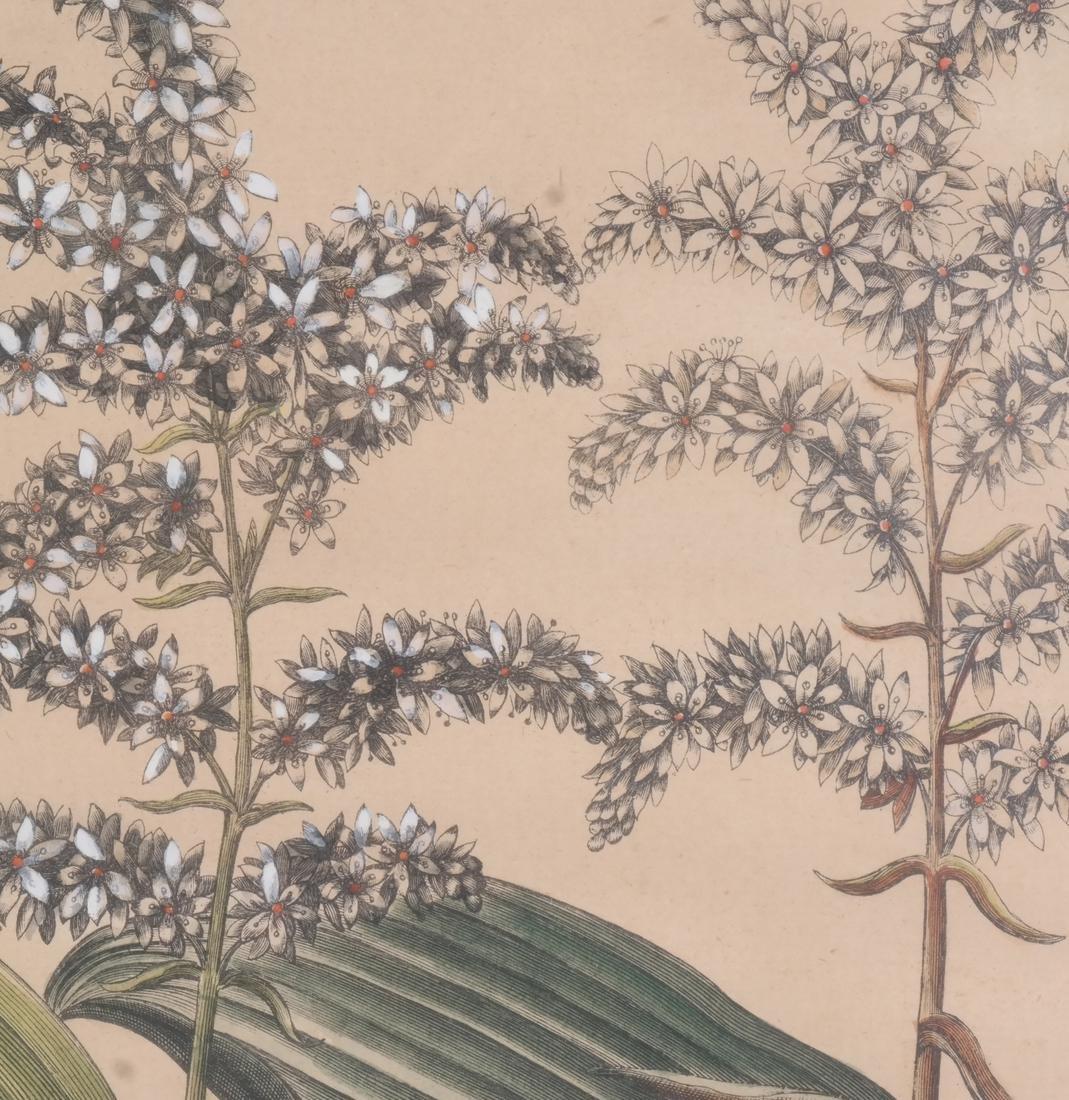 Two Basilius Besler  Felix Verity Horticultural Prints - 5